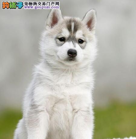 郑州顶级优秀犬舍出售哈士奇 市内可免费送狗上门