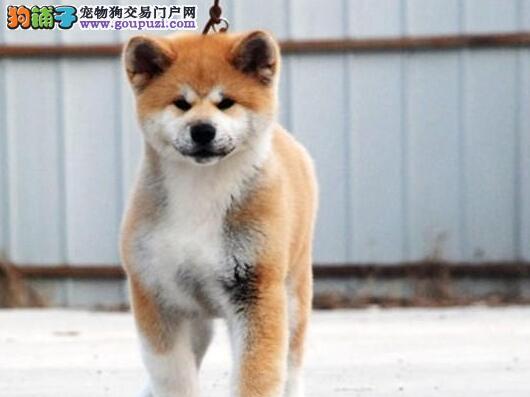 自家犬舍出售精品日系深圳秋田犬 可办理血统证书