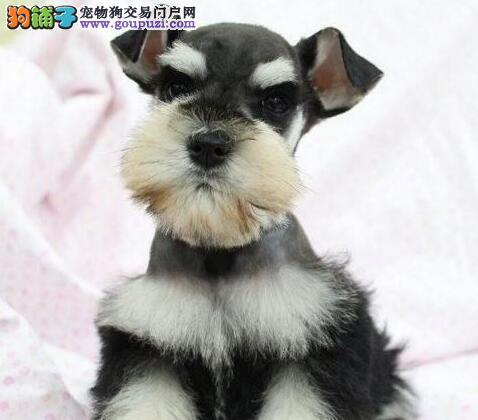 超可爱好品相的雪纳瑞幼犬找新主人 南宁市内送货上门