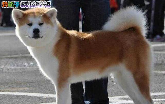 忠诚度最高的狗狗 日本引进纯种秋田犬温州火爆出售