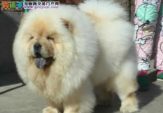 吐鲁番自家繁殖的松狮犬火爆热卖中 终身免费质保
