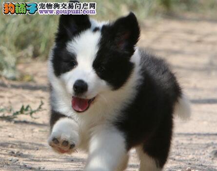 高智商七白到位的广州边境牧羊犬出售中 非诚勿扰