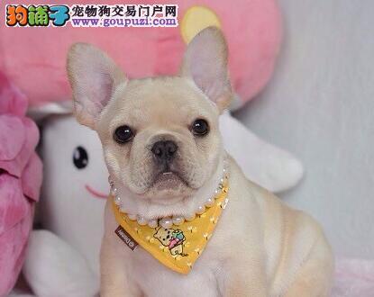 顶级优秀狗场出售郑州斗牛犬 质量有三包假一罚百