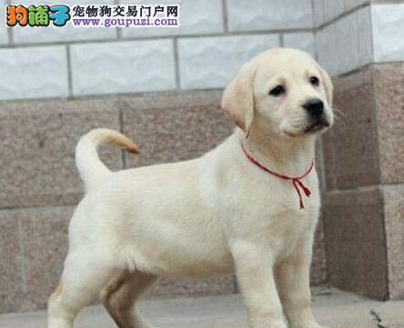 石家庄正规犬舍直销多只三个月的拉布拉多犬 签协议