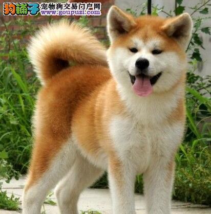 南通自家的日系秋田犬低价转手 只求好心人士收留