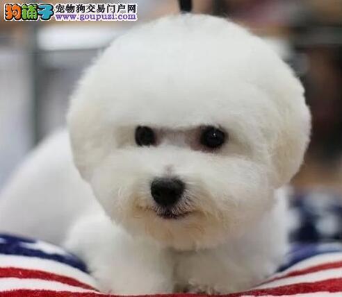 卷毛完美品相的比熊犬热卖中 深圳市内可送货上门