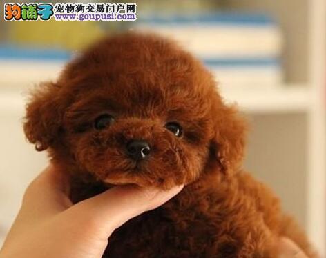 白山CKU认证犬舍出售高品质泰迪犬品质优良诚信为本