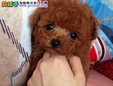 预售纯种韩系血统青岛泰迪犬 售后好有问题可退换