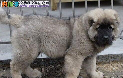 狼青色的吐鲁番高加索犬找新家 喜欢的朋友不要错过