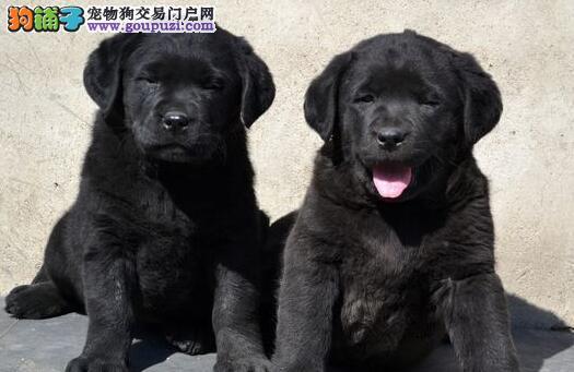 专业犬舍繁殖的大庆拉布拉多犬出售有品质有信誉