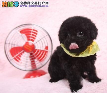 健康纯种宁波泰迪犬出售 国外引进犬种可签订协议