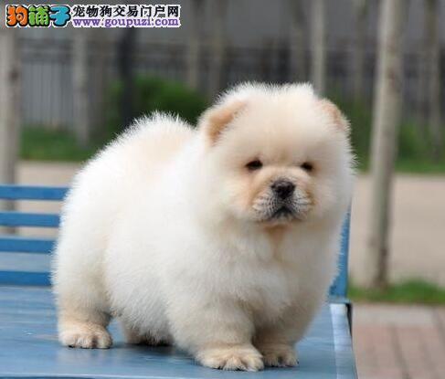 犬舍直销品种纯正健康松狮当日付款包邮