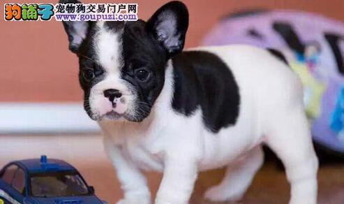 直销法国斗牛犬幼犬、公母均有多只选择、三包终生协议