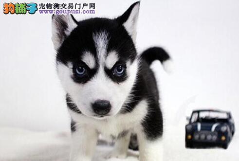CKU权威认证犬舍 纯种健康哈士奇幼犬 多只可选