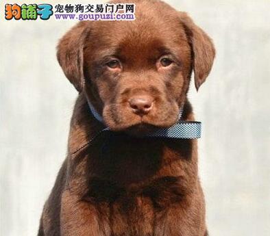 大型犬舍直销精品银川拉布拉多犬可送货上门