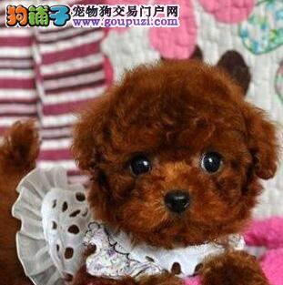 多种血统的广州泰迪犬找新家 保纯种和健康 实物拍摄