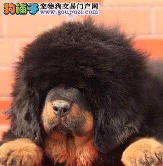 出售极品纯种原生态狮子藏獒 大狮头毛量骨量巨大无比