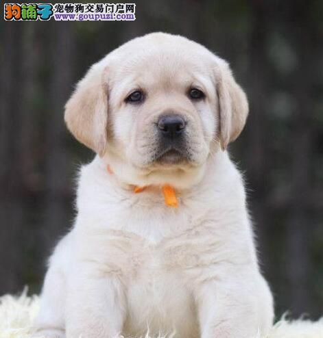 犬舍直销品种纯正健康黄冈拉布拉多保证冠军级血统