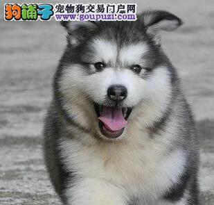 骨骼健硕高大威猛的温州阿拉斯加犬低价优惠出售中