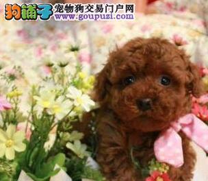 泰迪熊|红色贵宾|贵宾犬图片|玩具泰迪熊|包纯包建康