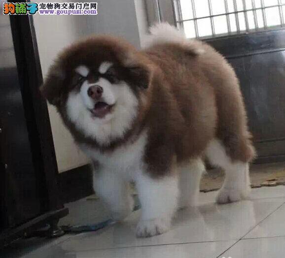 十字脸英俊帅气的广州阿拉斯加犬 建议大家上门选购哦