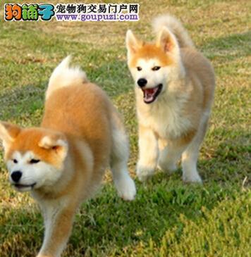出售正品纯种日系秋田犬 广州地区有实体店可享受优惠