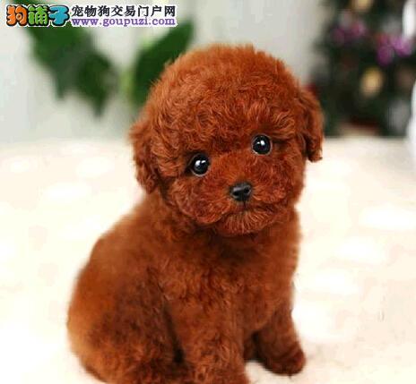 转让完美品相的南京泰迪犬 希望大家有时间上门选购