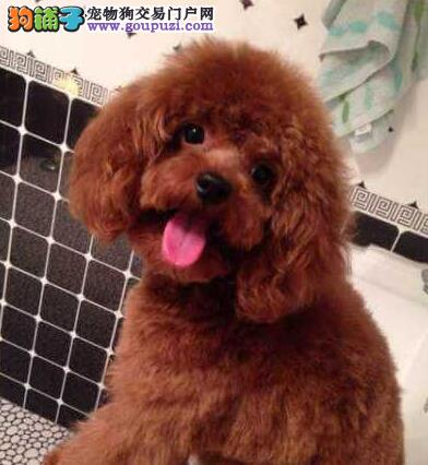 出售高品质泰迪犬 保证血统纯度 喜欢加微信