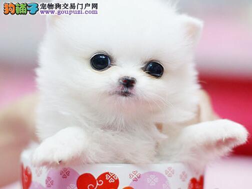 极品优秀哈多利博美犬上海狗场直销 已做好疫苗和驱虫