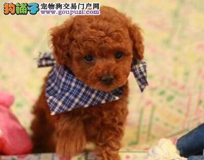 纯种泰迪宝宝贵宾犬优惠酬宾
