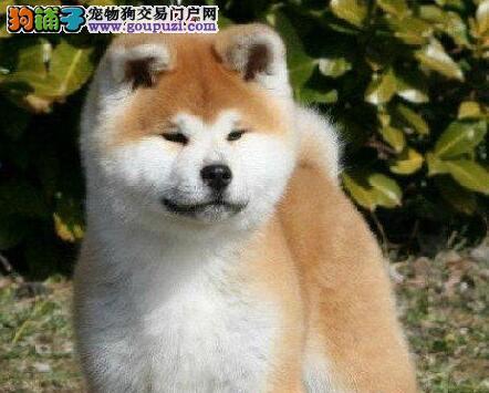 赛级品纯种徐州秋田幼犬正在热销 对你不离不弃的宠物
