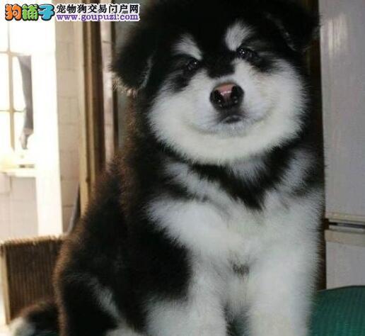 狗场热销好品相苏州阿拉斯加雪橇犬保质量售后完善
