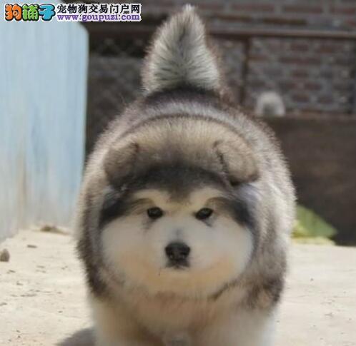 多种颜色英俊帅气的呼和浩特阿拉斯加犬出售 速来选购