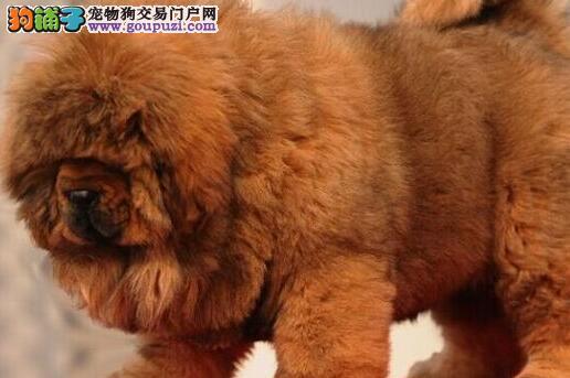 纯种大狮头铁包金, 红獒 雪獒 低价销售