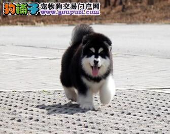 毛量足熊版赣州阿拉斯加雪橇犬火爆出售