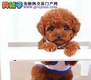 泰迪犬特惠出售烟台最大养狗基地包健康90天包退换