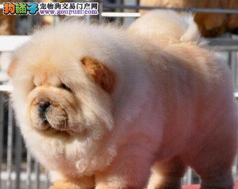 基地专业繁殖晋中松狮犬出售购买签协议可送货上门