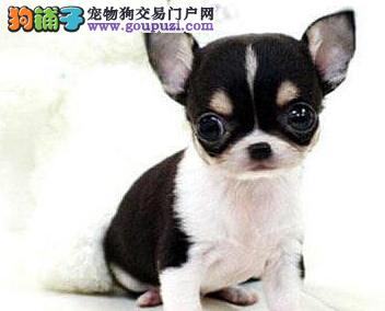 出售多种颜色成都纯种吉娃娃幼犬当日付款包邮