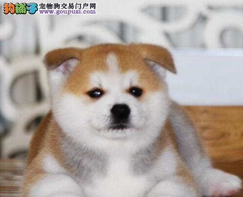 本地犬舍热销日系厦门秋田犬 公母都有多只幼犬可选择