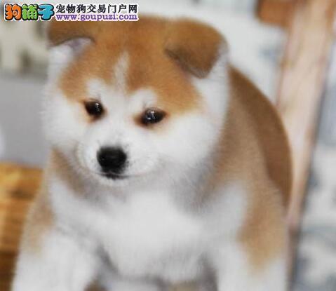 优秀品种日系宁波秋田犬特价出售中 非诚勿扰价格优惠