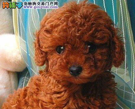 高品质纯种韩系厦门泰迪犬热销中 做齐进口疫苗和驱虫