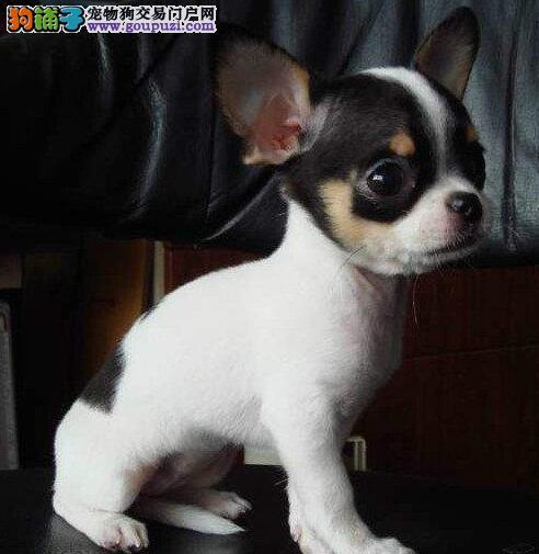 低价出售墨西哥血统的唐山吉娃娃幼犬 狗贩子请绕行
