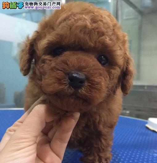 低价转让精品纯种韩系贵宾犬 欢迎来厦门狗场上门购买