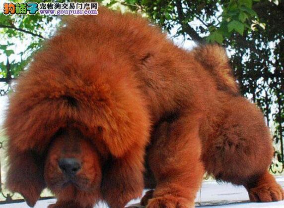 出售纯种藏獒/极品 大狮头/藏獒保健康