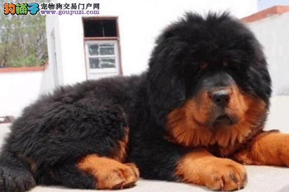 正规犬舍出售狮王血系厦门藏獒 品种优良有健康证书