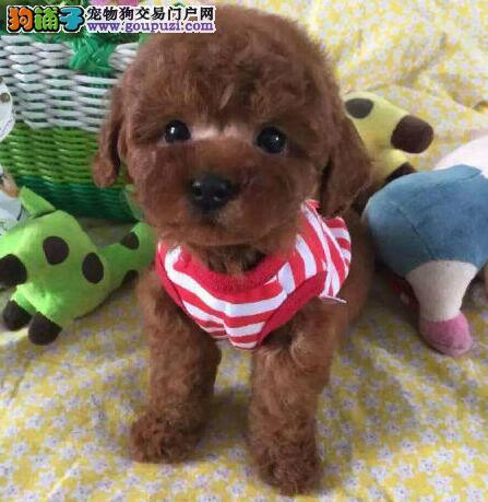 欢迎选购南昌贵宾犬 真正赛级品质欢迎上门来购买