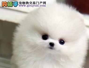 小巧球形博美重庆狗场出售 现在购犬送全套用品