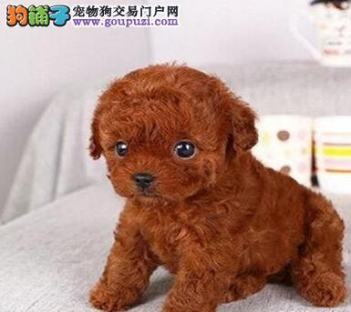 热卖重庆犬舍繁殖纯种泰迪犬 送用品签协议