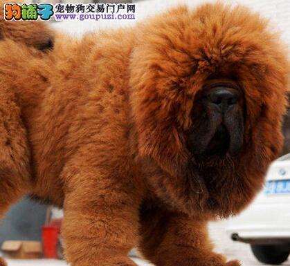 气势蓬勃,烈性藏獒纯种藏獒幼獒,超长毛的大狮头藏獒