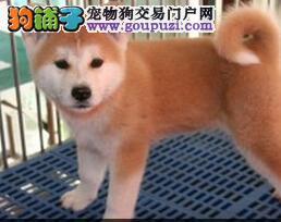 正宗日系深圳秋田犬犬舍特价出售 欢迎来本地直接购买
